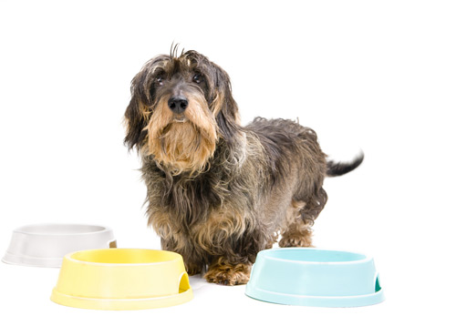 dachshund with empty bowls