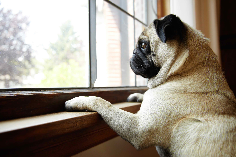 pug-window1