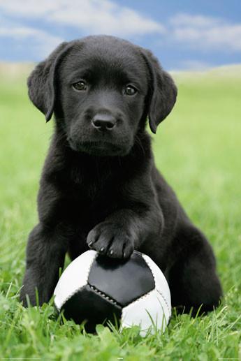 dog-labrador-football-i8399