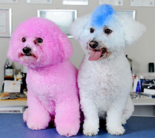 dyed doggies