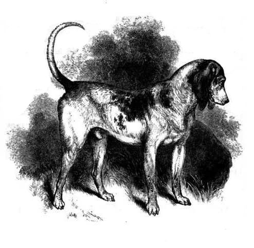 Southern_Hound