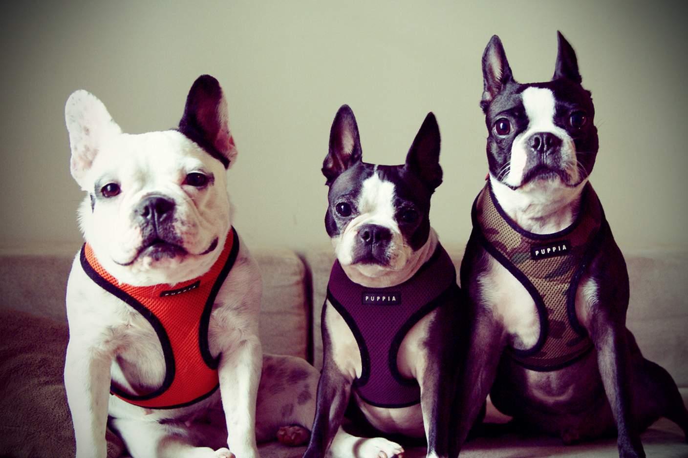 Is it a French Bulldog or a Boston Terrier? - Gublog
