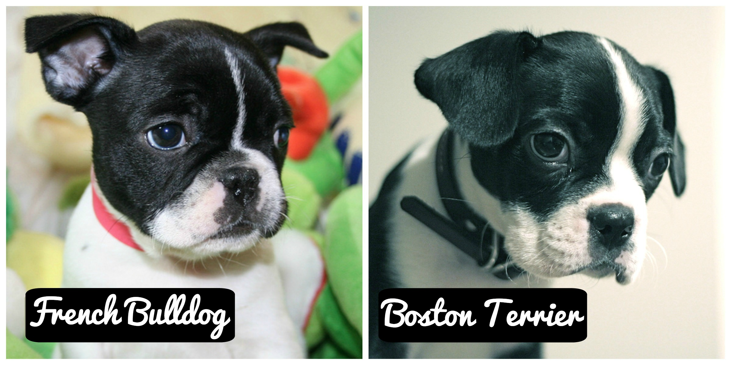 frenchbulldog boston terrier is it a french bulldog or a boston terrier gublog 8768