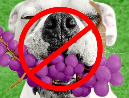 can-dogs-eat-grapes-no