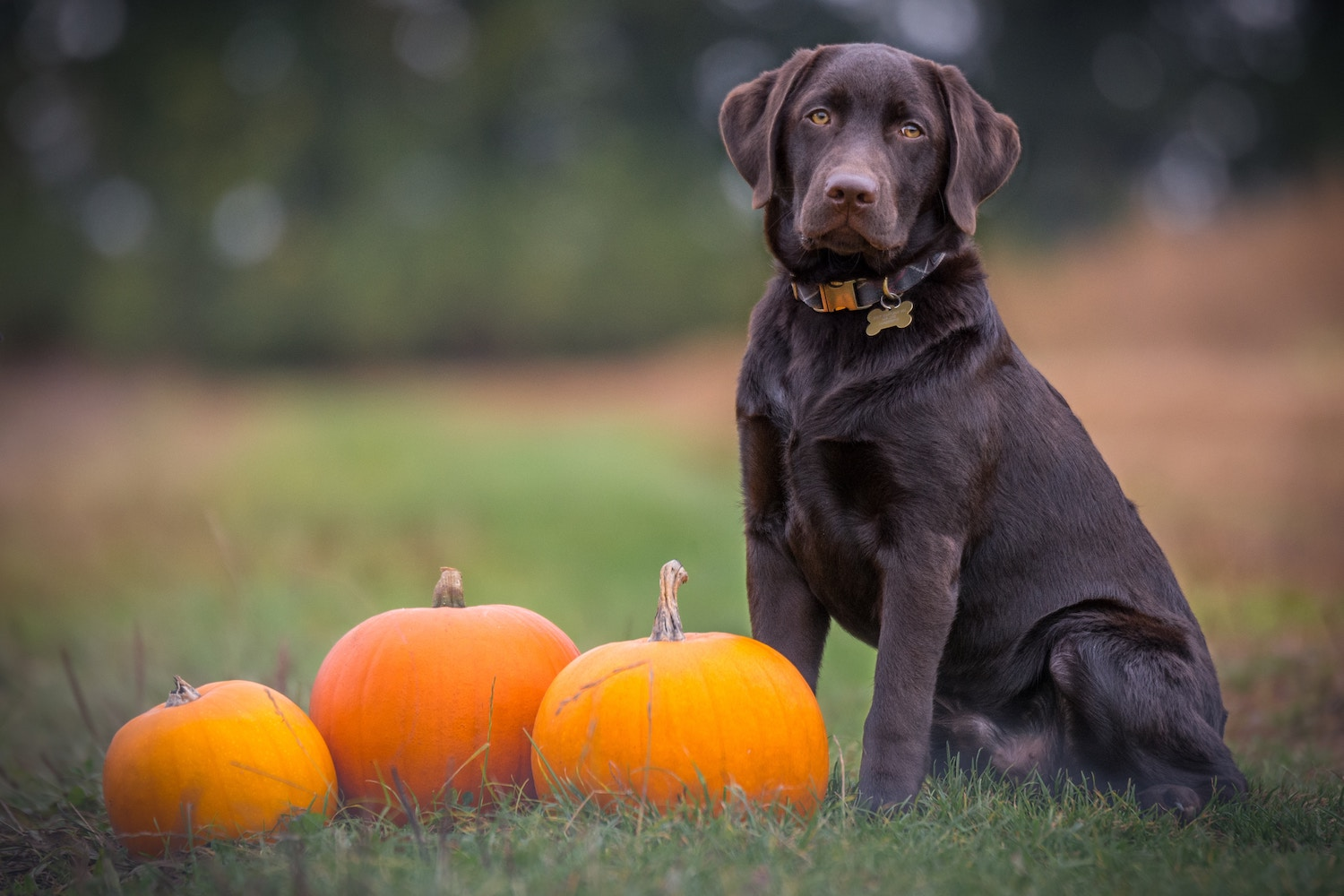 Pumpkin for your dog
